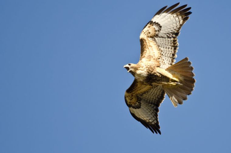 37201257 - red-tail hawk flying in a blue sky